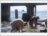 Mô hình chăn nuôi trên đảo Đá Nam